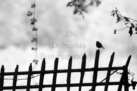 debashis_bandyopadhya_Robin.jpg