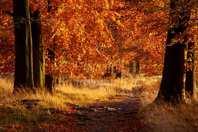 AUTUMN TREES, CANNOCK CHASE, UK