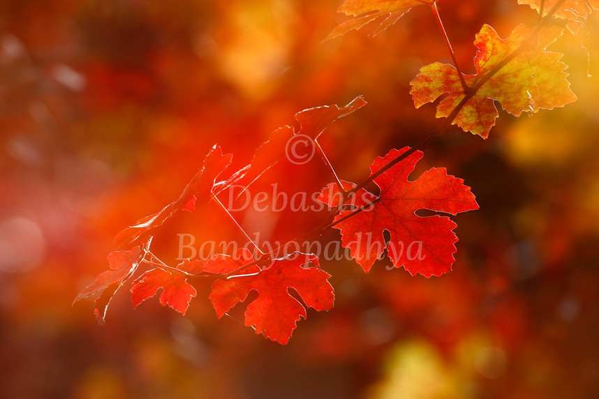 debashis_bandyopadhya_GrapeVines.jpg