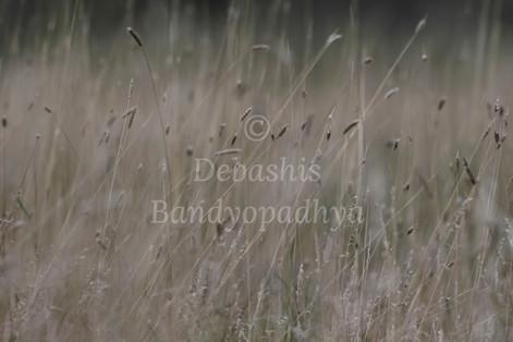 BandyopadhyaSwayingGently01.jpg