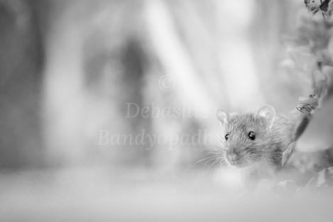DebashisBandyopadhya_Mouse.jpg