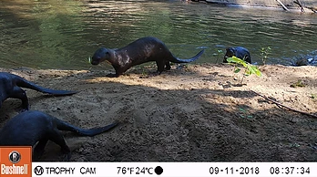 Giant River Otters