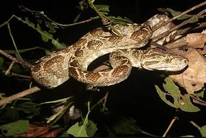 Snake - Corallus hortulanus