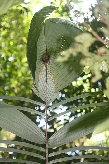 The Astrocaryum palm that hosted the tent-making bats. Note the chewed incisions underneath them which formed the tent.