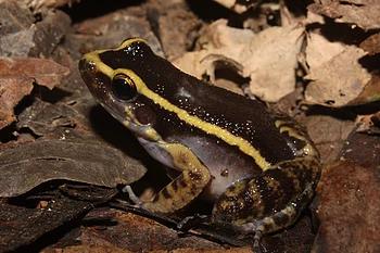 Not a poison arrow frog: Leptodactylus lineatus