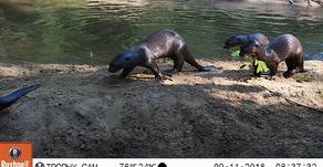 The Return of the Lobos de rio (Giant River Otters)