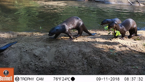 The Return of the Lobos de rio (Giant River Otters)