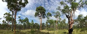 Angophora leiocarpa woodland
