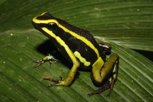 Poison arrow frog Ameerega trivittata