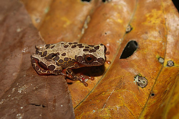 Dendropsophus triangulatum