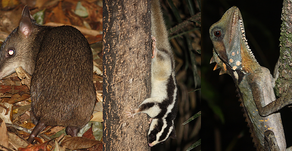 Critter-spotting itinerary for the Wet Tropics and Cape York Peninsula