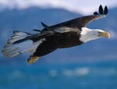 Flying White Bald Eagle