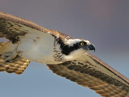 Osprey in flight at Sunny Seas Nature Park