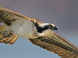 Osprey in flight at Sunny Seas Nature Park