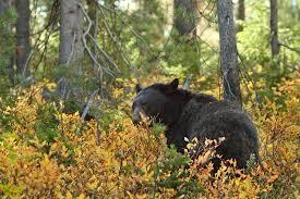 Bear eating berries Sunny Seas Nature Park