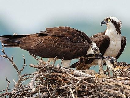 Osprey family Sunny Seas Nature Park
