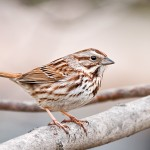 Song Sparrow Sunny Seas Nature Park