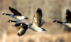 Canada Geese Sunny Seas Nature Park