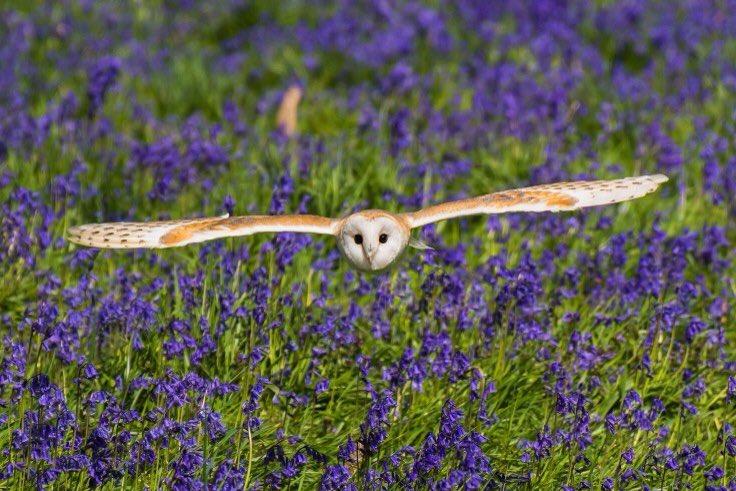 Owl flying over violet flower field.