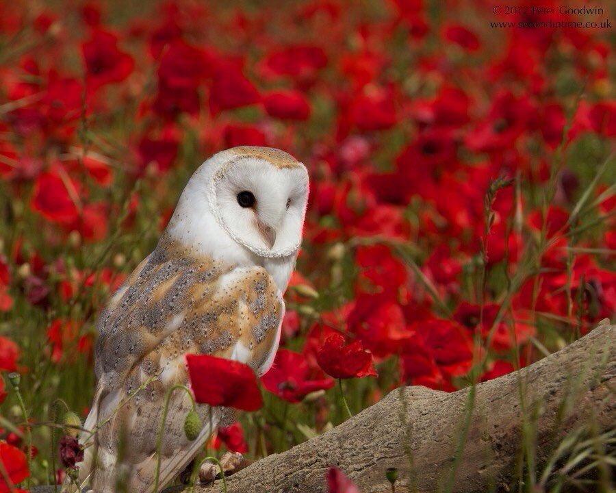 Lovely Owl in poppy field.