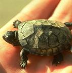 Blanding's Turtle Sunny Seas Nature Park