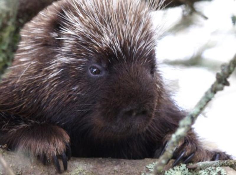 Porcupine face Sunny Seas Nature Park