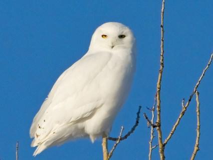 Snowy owl Sunny Seas Nature Park