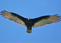 Turkey vulture flight at Sunny Seas Nature Park