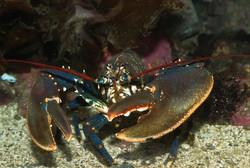 Lobster Sunny Seas Nature Park