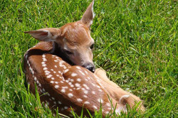 Young Deer sun bathing Sunny Seas Nature Park