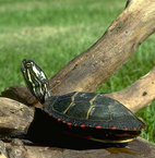 Eastern painted turtle Sunny Seas Nature Park