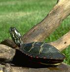Eastern painted turtle Sunny Seas Nature Park