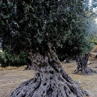 זית ישראלי