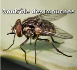 Mouche Domestique Musca domestica