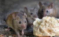 Mice-1920x1200.jpeg