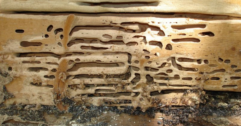Carpenter ant gallery.JPG