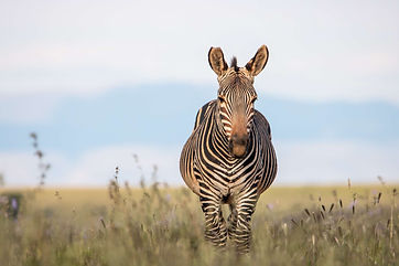 Zebra's 16.jpeg