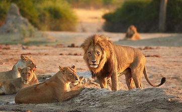 Leeuwen afrika.jpeg