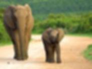 Addo Elephant Park Zuid-Afrika.jpg