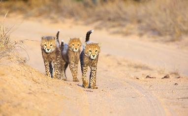 Cheetah jongen.jpeg