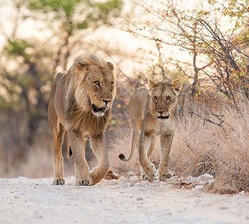 Leeuwen afrika.jpg