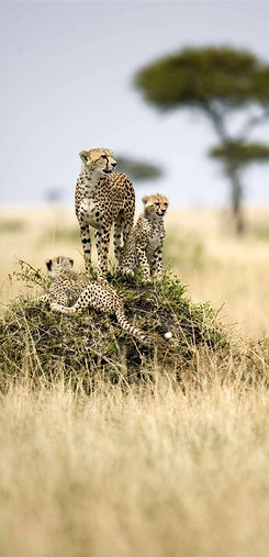 Cheetah Namibië.jpg