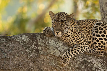 Luipaard Afrika.jpeg