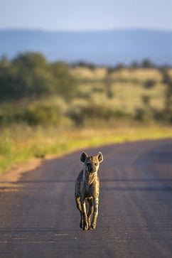 Hyena 7.jpeg