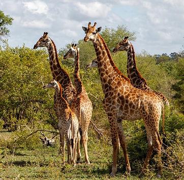Giraffen Zuid-Afrika.jpg