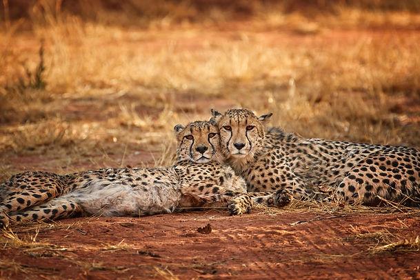 Cheetah 28.jpeg