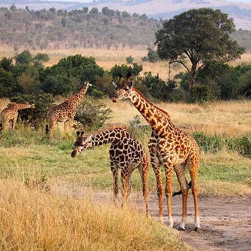 Giraffen.jpeg