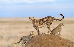 Cheetah Namibië.jpeg