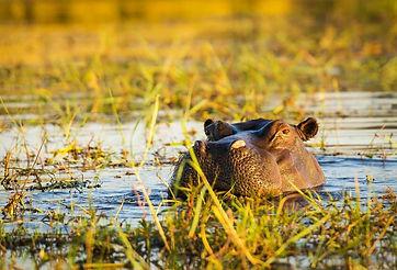 Nijlpaard Zuid-Afrika.jpeg
