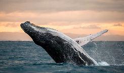 Walvis Hermanus Zuid-Afrika.jpg